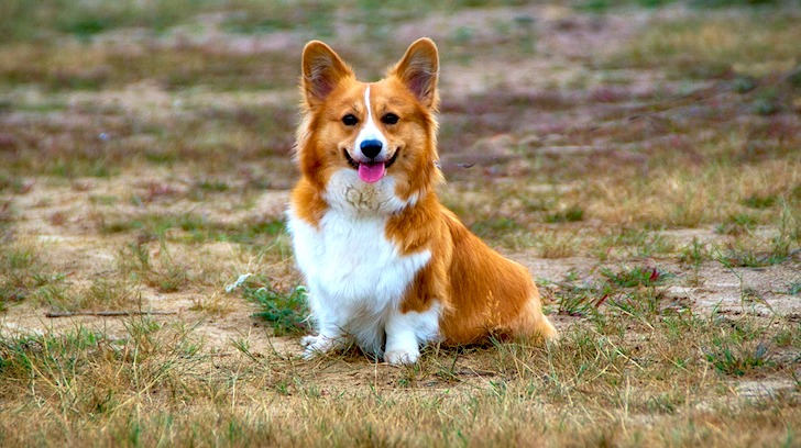 舌を出して飼い主の方を見詰めるコーギー犬
