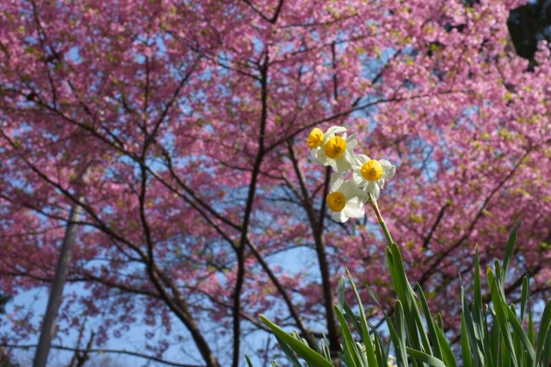京都新聞写真コンテスト 『桜満開と水仙?』