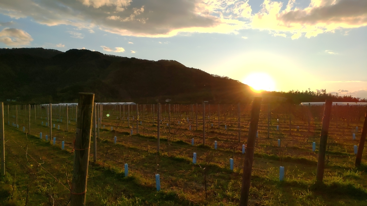 角田山に沈む夕日とぶどう畑