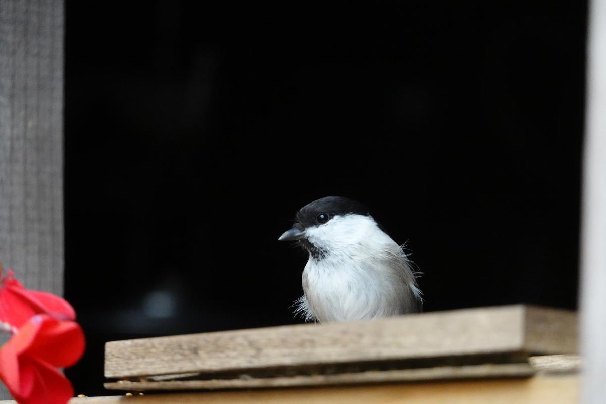 山小屋にいた小鳥。7.8倍ズーム。