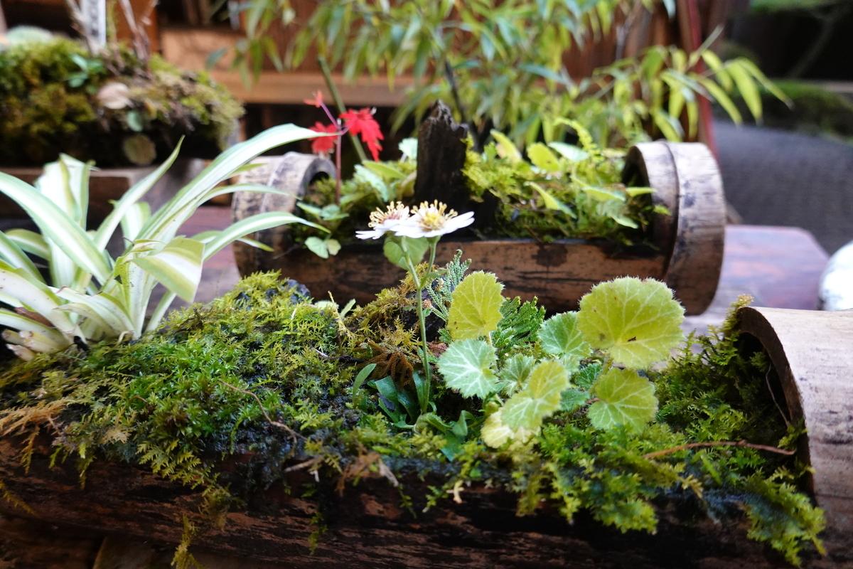 箱根湯本の天成園にて、観葉植物。ズームなし。