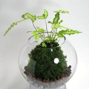 苔玉テラリウム(ハイゴケ、プテリス)