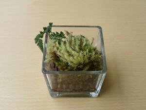 山苔と西洋シノブ