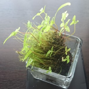 プテリス(シダ)と苔の鉢植え