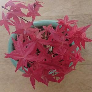 出猩々の春紅葉