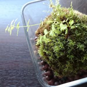 シダと山苔の苔玉