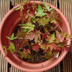 イロハモミジ発芽から4カ月