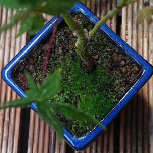モミジの鉢のホソウリゴケ