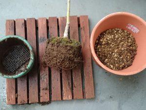 ヤマモミジの植え替え