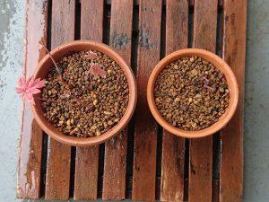 イロハモミジ実生植え替え