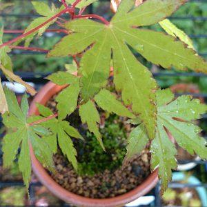 ヤマモミジの葉と苔