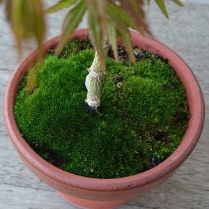 モミジの鉢の苔3月30日