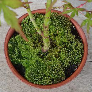 モミジの鉢の苔4月13日