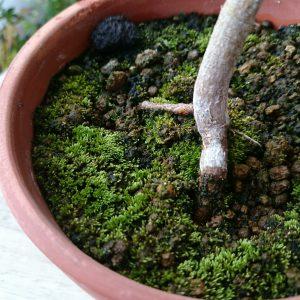 素焼き鉢の苔6月1日
