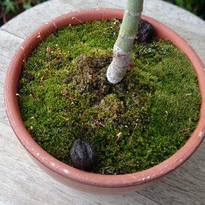 駄温鉢の苔6月1日