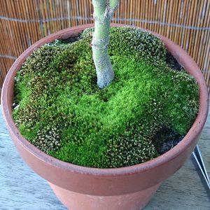 モミジの鉢の苔6月29日