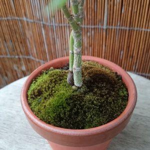 モミジの鉢の苔7月6日