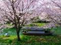 京都新聞写真コンテスト「桜の木の下で」