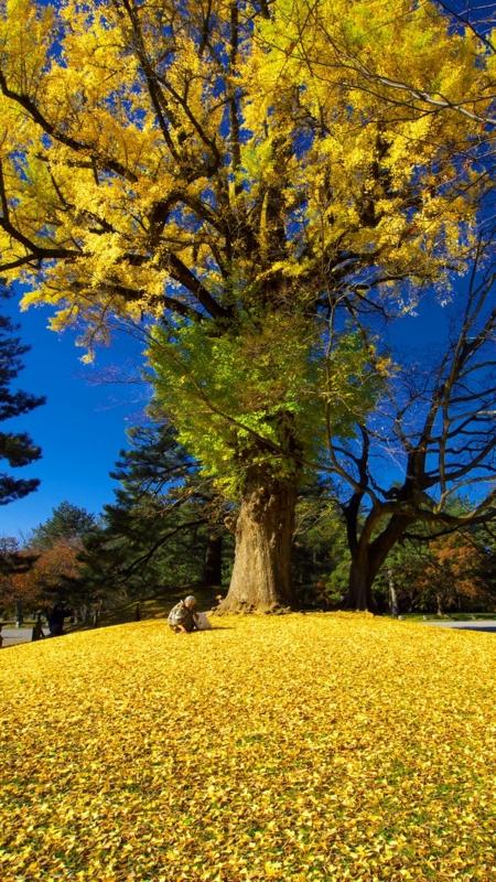 京都新聞写真コンテスト 御所の大銀杏