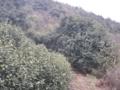 碧螺春の茶畑・手前は茶樹で、奥のはスモモの樹
