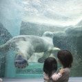 静岡市立日本平動物園/北極熊/ガラス壁をけって上昇する。