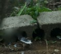 2016.5.5/スズメが巣材を確かめる