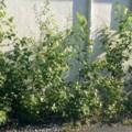 2016.6.27/街角の白樺の垣根