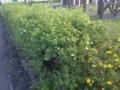 帯広市公園のキンロバイの垣根