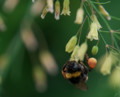 2016.7.2/アスパラのミツにきた蜂