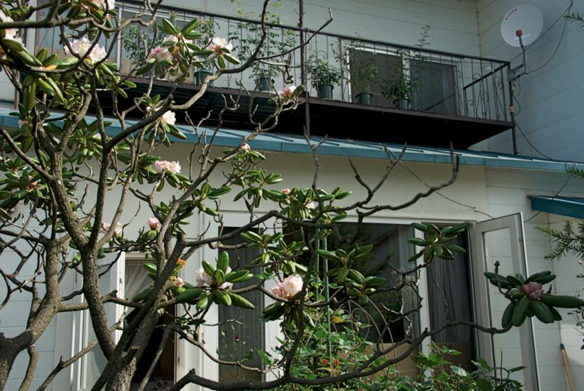 2016.7.7/帯広ではシャクナゲが7月に咲く。