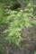 2017.7.17/2012年に大苗を植えたポールズ ヒマラヤン ムスクではないか?