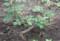 2016.7.16/2013大苗を植える。セバスチャンクナイプ