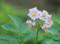 2016.7.23/男爵の花/種いもではなく食用を植えました?