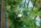 2016.7.23/ブラッシュ ノアゼットが咲く
