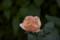 2016.7.31/喜茂別移植組4番咲きロココ3番は香粉連