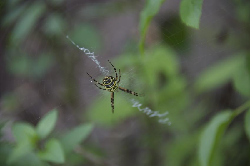 2016.9.8/派手な蜘蛛が居た。白い糸は隠れ帯とか。