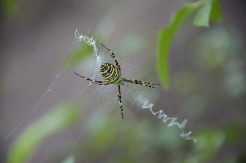 2016.9.8/派手な蜘蛛が居た。背中は横縞。コガネグモ