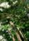 2017.6.23/江戸彼岸桜を植える。