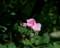 2017.6.23/タウゼントシェーンが咲いた。