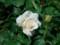 2017.6.23/フレンチレース花びらの質感がいい。