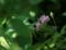 2017.6.23/ポールズ ヒマラヤン ムスクが日の当たらないところで咲いた。