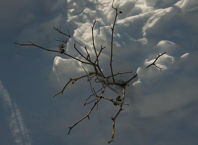2017.12.14/雪の布団を被るバラ