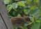 2018.6.10/すずめの雛がアブラムシを捕る