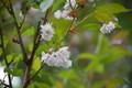羊蹄小学校の八重桜