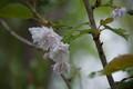 2012.6.1/羊蹄小学校の八重桜