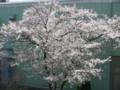 [その他]阪神競馬場の桜 2010.4.4 (2)