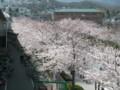 [その他]阪神競馬場の桜 2010.4.4 (1)