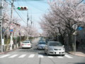 [その他]関西学院大学前の桜 2010.4.4 (1)