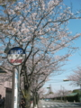 [その他]関西学院大学前の桜 2010.4.4 (4)