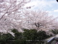 [その他]阪神競馬場の桜 2010.4.10 (1)